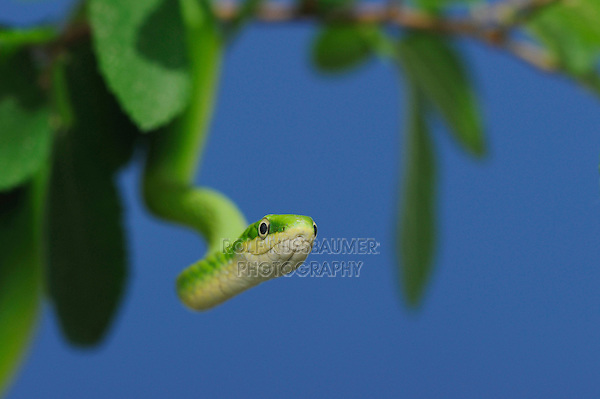 Rough Green Snake (Opheodrys aestivus), adult in tree, Fennessey Ranch, Refugio, Coastal Bend, Texas, USA