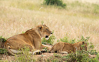 A female Lion, Panthera leo  melanochaita, with one cub in Maasai Mara National Reserve, Kenya