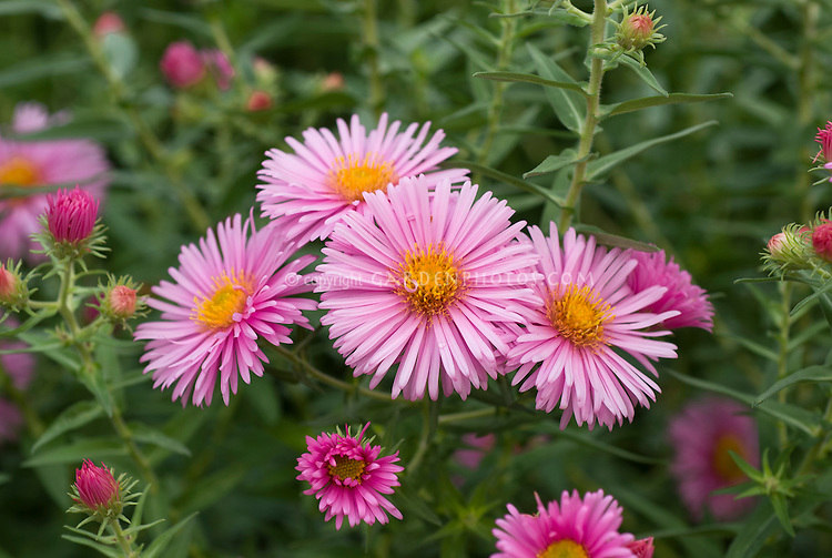 aster novaeangliae 'harrington's pink'  plant  flower stock, Beautiful flower