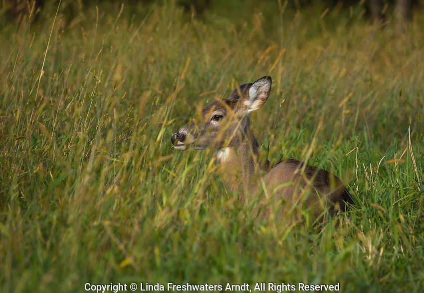 White-tailed deer bedded in the tall grass in northern Wisconsin.