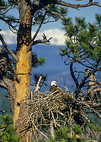 Bald Eagle at nest in ponderosa pine tree.  Western North America.  Spring.