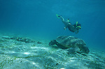 Green Sea Turtle swimming underwater ,Chelonia mydas,Indian Ocean,Mayotte, France
