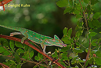 CH38-597z Female Veiled Chameleon tongue flicking to catch insect prey, Chamaeleo calyptratus, for sequence see CH38-599z