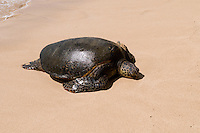 Green sea turtle on beach, North Shore, Oahu, Hawaii