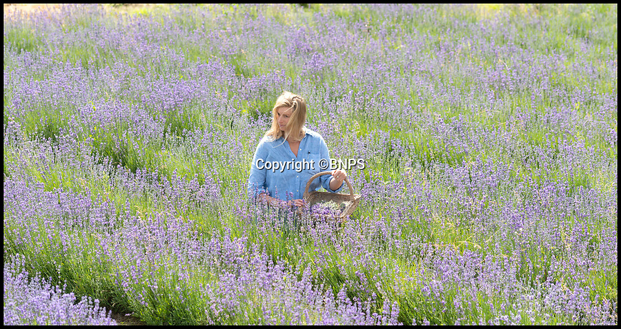 BNPS.co.uk (01202 558833)<br /> Pic:  RogerArbon/BNPS<br /> <br /> Chantal Brown picking lavender at the Dorset Herbs and Essences Farm in Okeford Fitzpaine, Dorset.<br /> <br /> The farm, over 10 acres, grows lavender, curry plant, lemon balm, sage, roses and rose hips, camomile, saffron and yarrow.<br /> <br /> The ethos behind the farm is to grow, harvest and distil the crops to then use the oils for various ointments and herbal remedies, hand creams and lip balms.