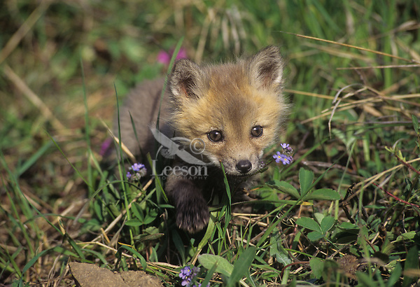 Red fox pup (Vulpes vulpes) exploring near its den.  Western U.S., June.