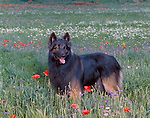 Belgian Tervuren<br /> <br /> Shopping cart has 3 Tabs:<br /> <br /> 1) Rights-Managed downloads for Commercial Use<br /> <br /> 2) Print sizes from wallet to 20x30<br /> <br /> 3) Merchandise items like T-shirts and refrigerator magnets