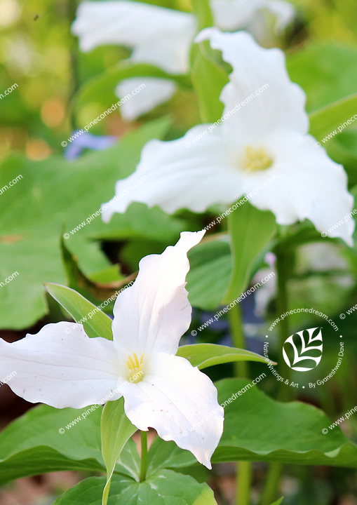 Gorgeous white Trillium wildflowers in the woods at the smoky mountains national park, America - Free Nature Stock Image.