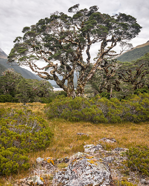 Beech tree and sub-alpine vegetation near Greenstone Saddle. Lake McKellar visible in distance, Fiordland National Park, Southland, South Island, World Heritage Area, New Zealand