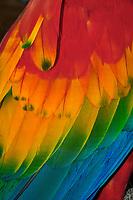 Scarlet Macaw (Ara macao) wing detail, Yasunì National Park, the Amazon, Ecuador