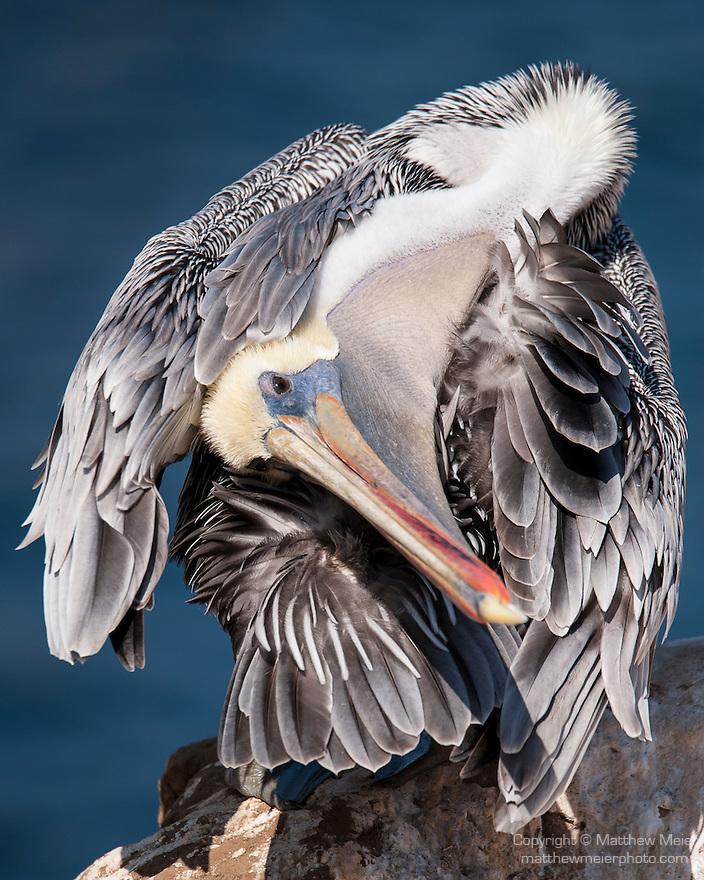 La Jolla Cove, La Jolla, California; a Brown Pelican (Pelecanus occidentalis) preening itself while standing on the cliffs overlooking the Pacific Ocean
