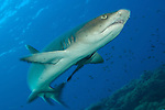 Whitetip reef shark (Triaenodon obesus), full body view, Fathers reefs, Kimbe Bay