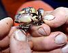 A small stone crab