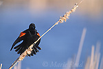 Red-winged Blackbird (Agelaius phoeniceus) male calling and displaying, perched on cattail seedhead, Montezuma National Wildlife Refuge, New York, USA<br /> Slide # B163-573