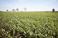 Uberaba_MG, Brasil...Plantacao de milho em Uberaba...The corn agriculture in Uberaba...Foto: LEO DRUMOND / NITRO