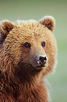 Coastal grizzly bear (Ursus arctos), Alaska.