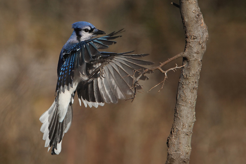 Texas Jay making an approach on a small tree perch..