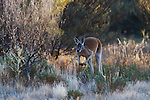 Australia,  NSW, Sturt National Park; red kangaroo  male hopping(Macropus rufus) through bushland; the red kangaroo population increased dramatically after the recent rains in the previous 3 years following 8 years of drought
