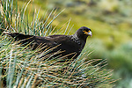 Striated Caracara (Phalcoboenus australis), West Point Island, Falkland Islands