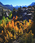 USA, California, Sierra Nevada Mountains.  Autumn colors of Aspen trees in the Sierras.