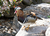 0310-1009  Drake (Male) Mandarin Duck, Aix galericulata  © David Kuhn/Dwight Kuhn Photography.