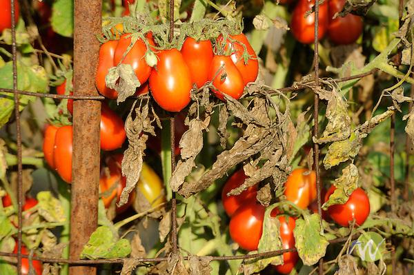 Italian tomatoes on vines in September.