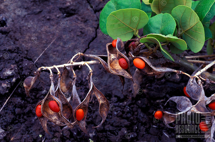 Wiliwili Erythrina sandwicensis) is a native Hawaiian plant, the seeds are used in making leis, Kaupulehu