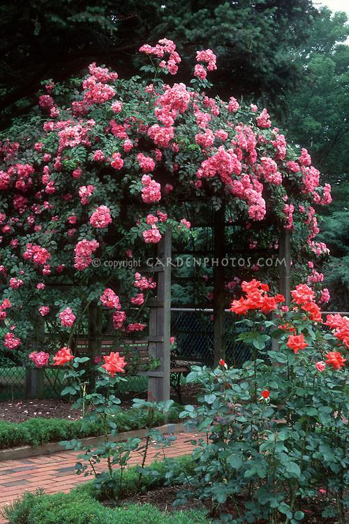 Climbing Roses American Pillar Rambling Rose Plant