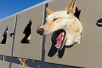 Twig, a Justin Savids dog yawns in his box in Willow, Alaska duirng the re-start of the 2011 Iditarod.