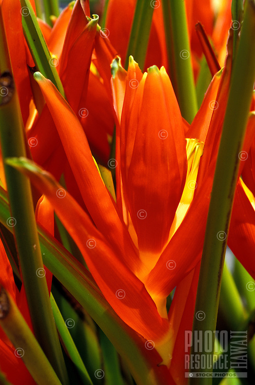 Blossoms of Okinawa Torch (Musa coccinea)