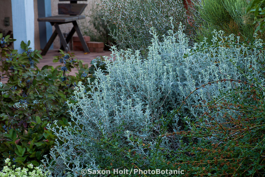 Parthenium incanum, Mariola or New Mexico rubber plant, gray foliage perennial in New Mexico backyard xeric garden, design by Judith Phillips