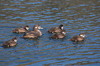Kragenente, Kragen-Ente, Weibchen führt ihre Küken, Histrionicus histrionicus, harlequin duck, lords and ladies, painted duck, totem pole duck, rock duck, glacier duck, mountain duck, white-eyed diver, squeaker, blue streak, female, chick, chicken, fledgling, fledglings, L'Arlequin plongeur, Canard arlequin, Garrot arlequin, Island, Iceland