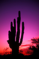Graphic and Colorful Cactus in the Sunset. Arizona, USA...
