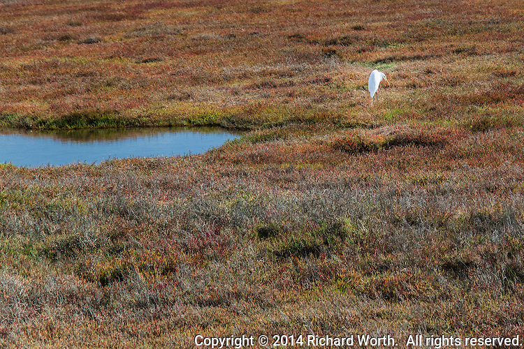 A great egret stands in a field of ground cover tinged red with the changing season and next to a pond reflecting the clear blue sky.