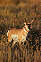 Pronghorn Antelope (Antiloapra americana) buck.  Western U.S., fall.