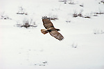 A Red-tailed Hawk soars above the snowy terrain in Wyoming.
