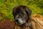 Murphy the Leonberger