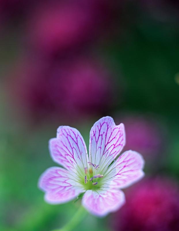 Geranium (Geranium renardii) Bellevue Botanical Garden,  Bellevue, Washington