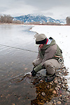 A fly fisherman releases a brown trout caught during a day of winter fly fishing on the South Fork of the Snake River, Idaho.