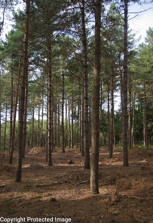 Pine trees in coniferous Rendlesham forest, Suffolk, England
