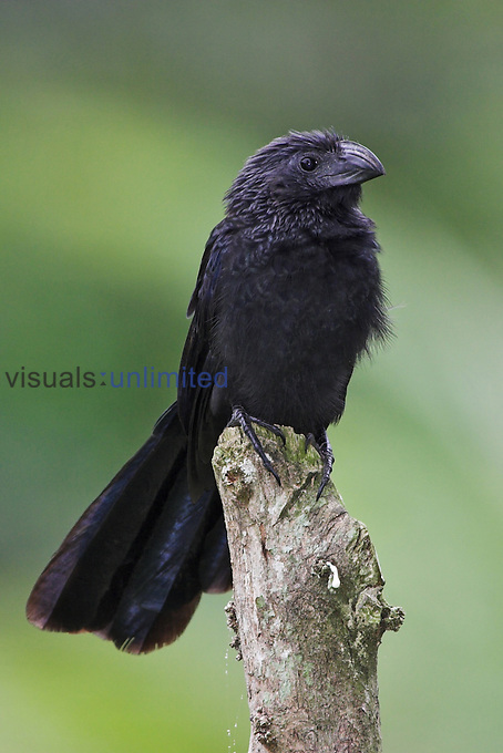 Groove-billed Ani, Costa Rica