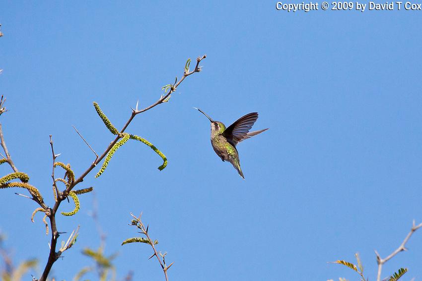 Broadbilled Hummingbird female, San Miguel, Guanajuato, Mexico