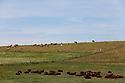 27/08/12 - CEZALIER - CANTAL - FRANCE - Estives de troupeaux Aubrac et Salers - Photo Jerome CHABANNE