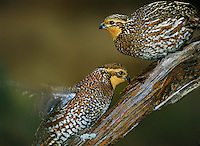 509250033 two wild female northern bobwhites colinas virginianus stand on a lichen-covered mesquite log in the rio grande valley of south texas