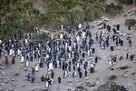 King Penguins & Fur Seals