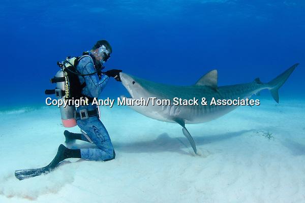 Tiger Shark, Gelocerdo cuvier, shark feed at Fish Tales near Tiger Beach, Grand Bahama Bank, Caribbean Sea, Atlantic Ocean.