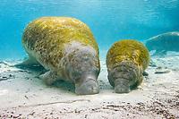 Florida manatee, Trichechus manatus latirostris, a subspecies of West Indian manatee, Trichechus manatus, mother and calf, Three Sisters Spring, Crystal River, Florida, USA