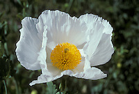 Matilija poppy, Romneya coulteri. Native to dry washes and canyons of Southern California; photographed at the Botanical Garden, University of California, Berkeley