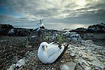 Nazca booby (Sula dactylatra), Isla Espanola, Galapagos Islands, Ecuador
