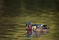 35-B02-DW-057   WOOD DUCK (Aix sponsa) mating pair on pond, western Oregon, USA.